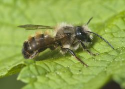 Osmia bicornis | Bild: PJT56/wikimedia commons/cc-by-sa-4.0